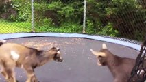 Funny Goats jumping on trampoline