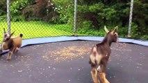Des chèvres complètement folles sautent sur un trampoline