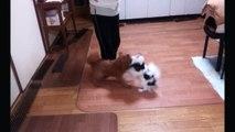 日本一派手な喧嘩をする小型犬!!  チワワ VS ミックス犬 第2ラウンド  Fight !  Chihuahua VS Mixture Dog