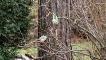 """""""Kolibrizó"""" barátposzáta az etetőn / Hummingbird flying Blackcap, Budapest (2011.02.19.)"""