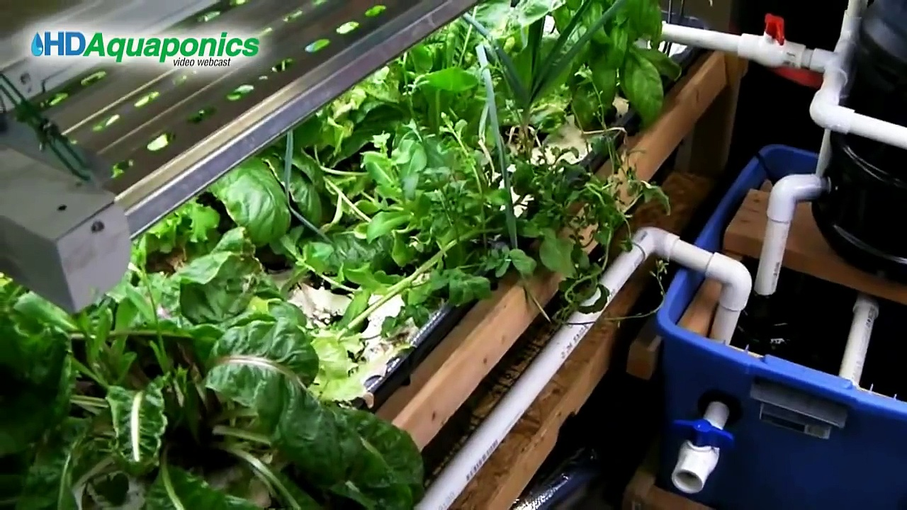 HD Aquaponics Ep.32 – Advanced barrel aquaponics, chelated liquid iron, greenhouse, hops, Ron Paul