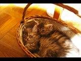 Video Siberian kittens
