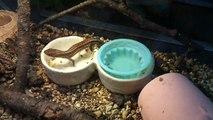 カメ餌を食べるカナヘビ