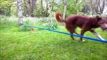 un chien acrobate