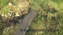 Large eels feeding underwater (perch & pike watching). Подводная видео охота на угря.