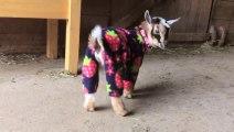 Bébés chèvres en Pyjamas! Trop mignon