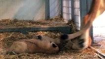 Les premières images des 3 petits lionceaux du Parc Zoologique de Paris