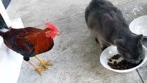 Петух отбирает еду у кота   чем всё закончится
