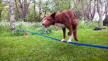 Dog tightrope made of slackline