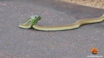 Boomslang serpent tue un Chameleon Rapidement Rapidement &