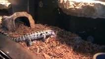 Feeding my blue tegu (VIOLENT)