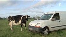 France 3 - Lait _ séparation d'une vache et de son veau