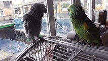 Charlie the blue fronted Amazon meets Smokey our first african grey, look how they seem to get along