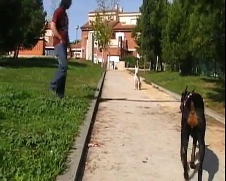 Gatito, bull terrier