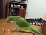 Quaker Parrot Dancing And Being Silly