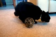 Video Fluffy the siberian kitten is playing with a mouse in a ball