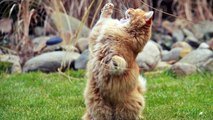 """""""The Waltzing Cat """"by Leroy Anderson"""