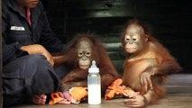 Feeding time for baby Orangutans, Orangutan Care Center, Borneo, Indonesia (MVI_2925)