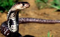 COBRA Attacks Passing Trucks Snake attacks passing trucks MUST SEE!