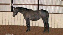 "For Sale - ""Quest"" Hanoverian Cross Mare -  Lunged+Jumped 9-28-10"