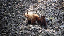 Osa y osezno cruzando canchal (Oso pardo cantábrico, brown bear, ursus arctos