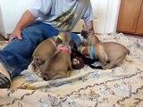 French Bulldog Puppies for sale ~ Oregon ~ French Bulldog breeder