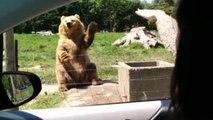 L'ours le plus cool du monde : Il fait coucou et attrape du pain de mie en plein vol