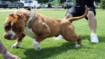 Biggest bully pitbull on earth - PITBULL GIANT - strongest dogs in the world