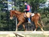 Money SMOOTH and FEARLESS Tennessee Walking Horse Trail Horse For Sale