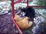 Un combat de chat très impressionant