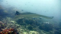 Manta rays flies in Komodo - Ballet de raies manta à Komodo (HD)