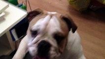 Jeune Bulldog anglais qui aime jouer