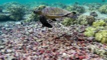Sea Turtle on a long graceful swim in the shallow coral reefs at Turtle Beach Big Island Hawaii