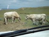 Two Bulls fighting over a cow