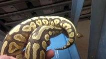 Ball Pythons at Safari Reptiles