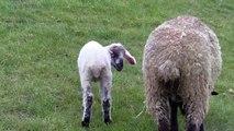 Schafe und Lämmer auf dem Deich