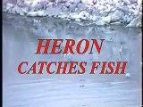 Heron spear big fish, Egret & Great Blue Heron tog Rare view