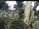 Lake Washington Bald Eagle  Feeding Eaglets 3Xs in 2 hours 04/2/11