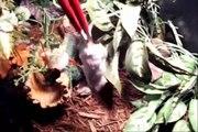 gaboon viper(bitis gabonica) and rhino viper(Bitis nasicornis)