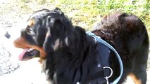 Görkorizás egy bernivel / Roller-skating witth a Bernese Mountain Dog
