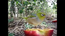 Pretty Silvereyes and Blackbirds Eating Apples