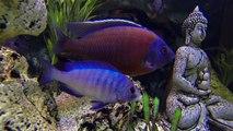 Aquarium Poisson Cichlidé - GoPro Plongée aquarium eau douce