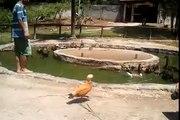 Criação de aves aquáticas exóticas: marrecos, gansos e cisnes