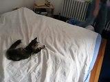 5 month old maine coon is making the bed