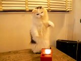 Cat discovers Theremin  cute animal playing music