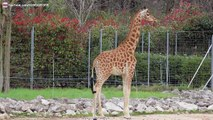 Les Girafes et un bébé Girafeau au parc de la Tête d'Or à Lyon