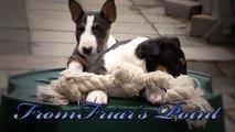 Mini Bull Terriers puppies From Friar's Point Joka & Kush
