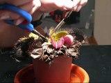 How to trim a Venus Fly Trap