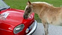 Un cheval témoigne de son amour pour Volkswagen