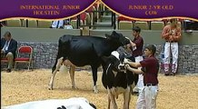 Junior Holstein Junior Two-Year-Old Cow.mp4